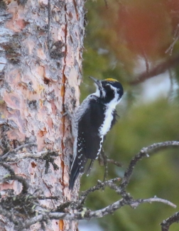 18-American Three Toed Woopecker