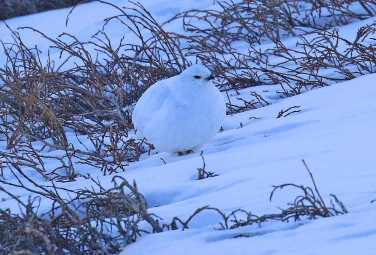19-White Tailed Ptarmigan