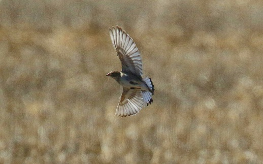 2 -McCown's Longspur Flight