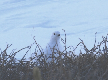 20-White Tailed Ptarmigan 2