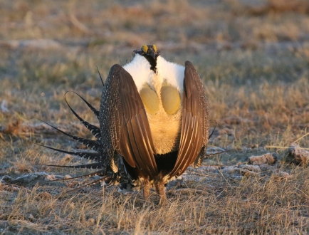 24-Greater Sage Grouse 3