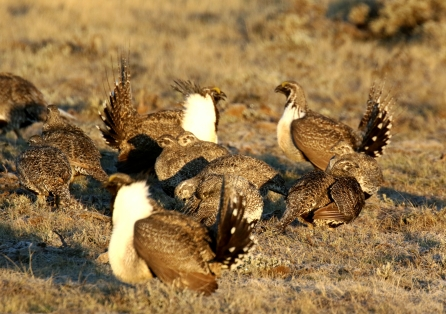 28-Greater Sage Grouse Group 2