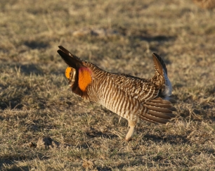 30-Greater Prairie Chicken