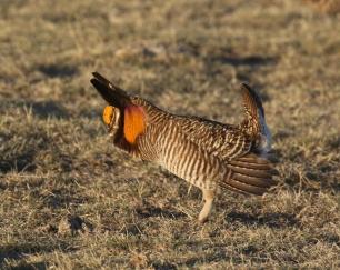 30-Greater Prairie Chicken