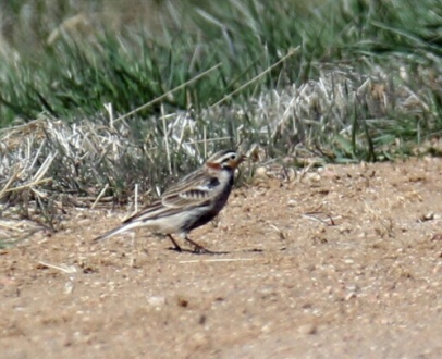 4 -Chestnut Collared Longspur2