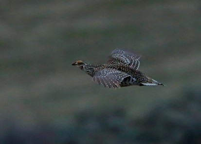 43a-Sharp Tailed Grouse Flight