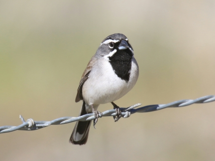 49-Black Throated Sparrow 3