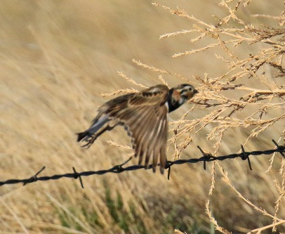 5 -Chestnut Collared Longspur Flight
