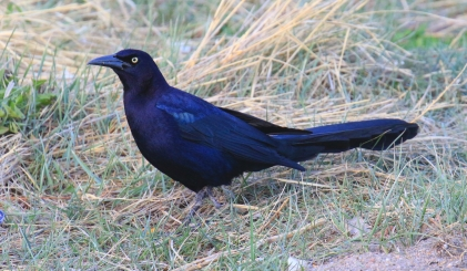 50-Great Tailed Grackle