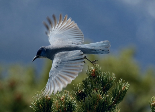 54-Pinyon Jay Flight