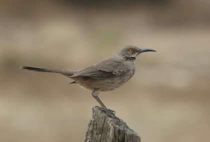 56-Curve Billed Thrasher 1