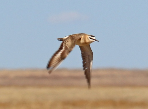 5a-Mountain Plover in Flight