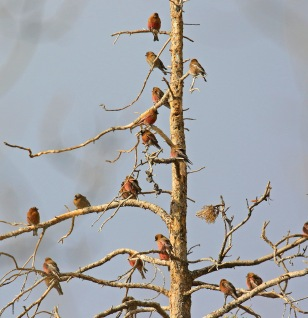 6 - Rosy Finches
