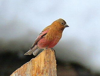 7-Brown Capped Rosy Finch3
