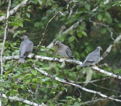 Band Tailed Pigeons