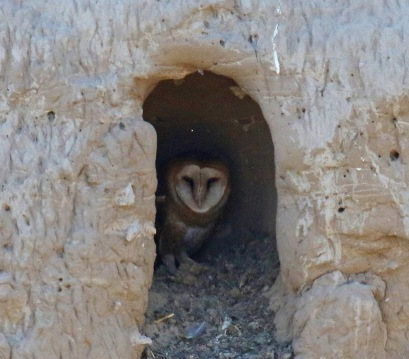 Barn Owl in Nest
