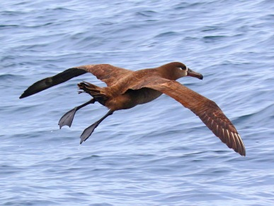 Black Footed Albatross2