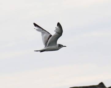 Black Legged Kittiwake Flight