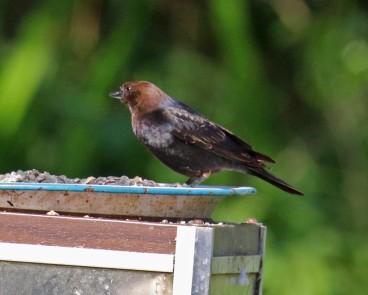 Bown Headed Cowbird