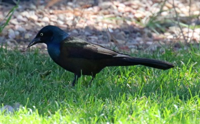 Common Grackle2