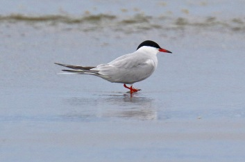 Common Tern1 - Copy