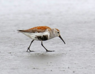 Dunlin Breeding