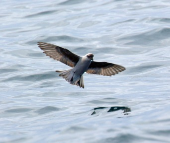 Fork Tailed Storm Petrel