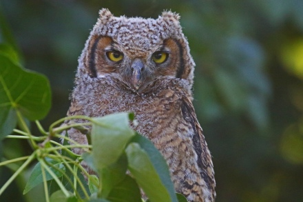 Great Horned Owl Owlet2
