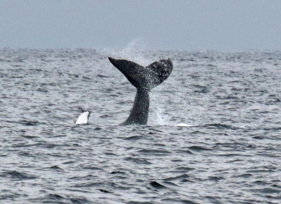 Humpback Tail and Fluke