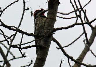 Red Naped Sapsucker1