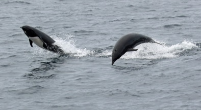 Right Whale Dolphins