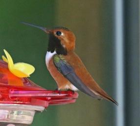 Rufous Hummingbird1