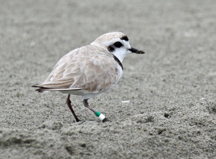 Snowy Plover with Band