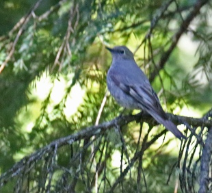Townsend's Solitaire2