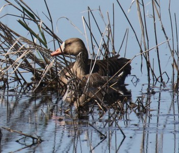 White Fronted Goose