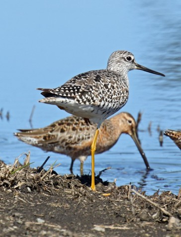 Yellowlegs and Dowitcher