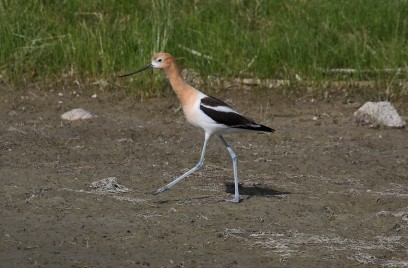 American Avocet1 - Copy
