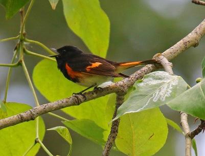 American Redstart Singing - Copy
