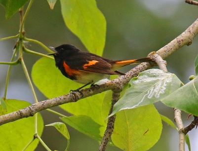 American Redstart Singing - Copy