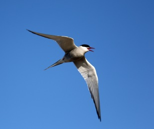 Arctic Tern Flight