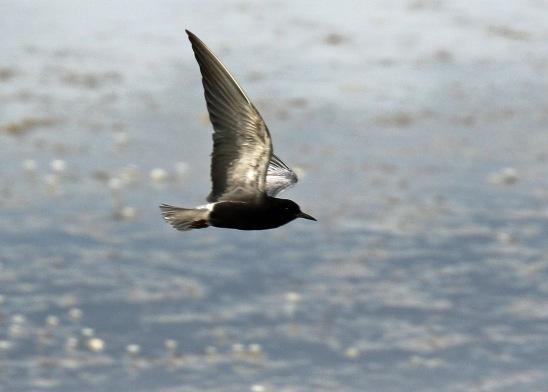 Black Tern3 - Copy