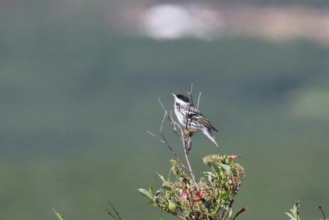 Blackpoll Warbler 2