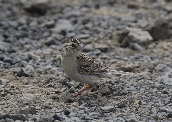 Clay Colored Sparrow (2)