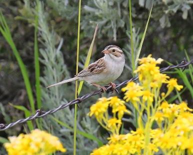 Clay Colored Sparrow - Copy