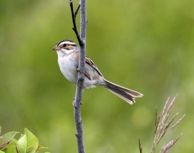 Clay Colored Sparrow2 - Copy