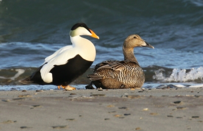 Common Eiders (2)