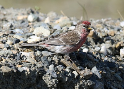 Common Redpoll3