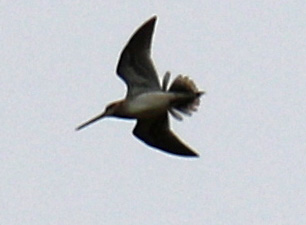 Common Snipe2