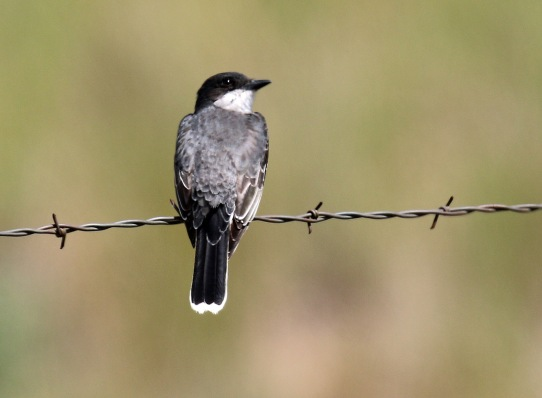 Eastern Kingbird1