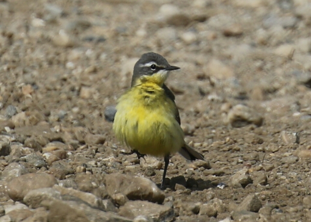 Eastern Yellow Wagtail1 - Copy